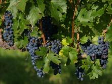 Vinami racimo uvas
